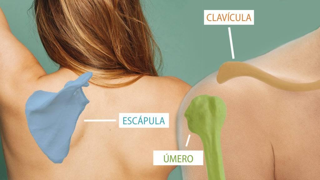 Imagem explicativa para diferenciação entre os osso que se ligam no ombo: Escápula, clavícula e úmero.